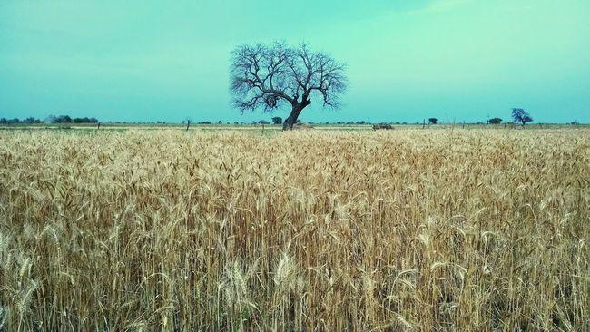 Grain Field Myhometown VillagesofIndia