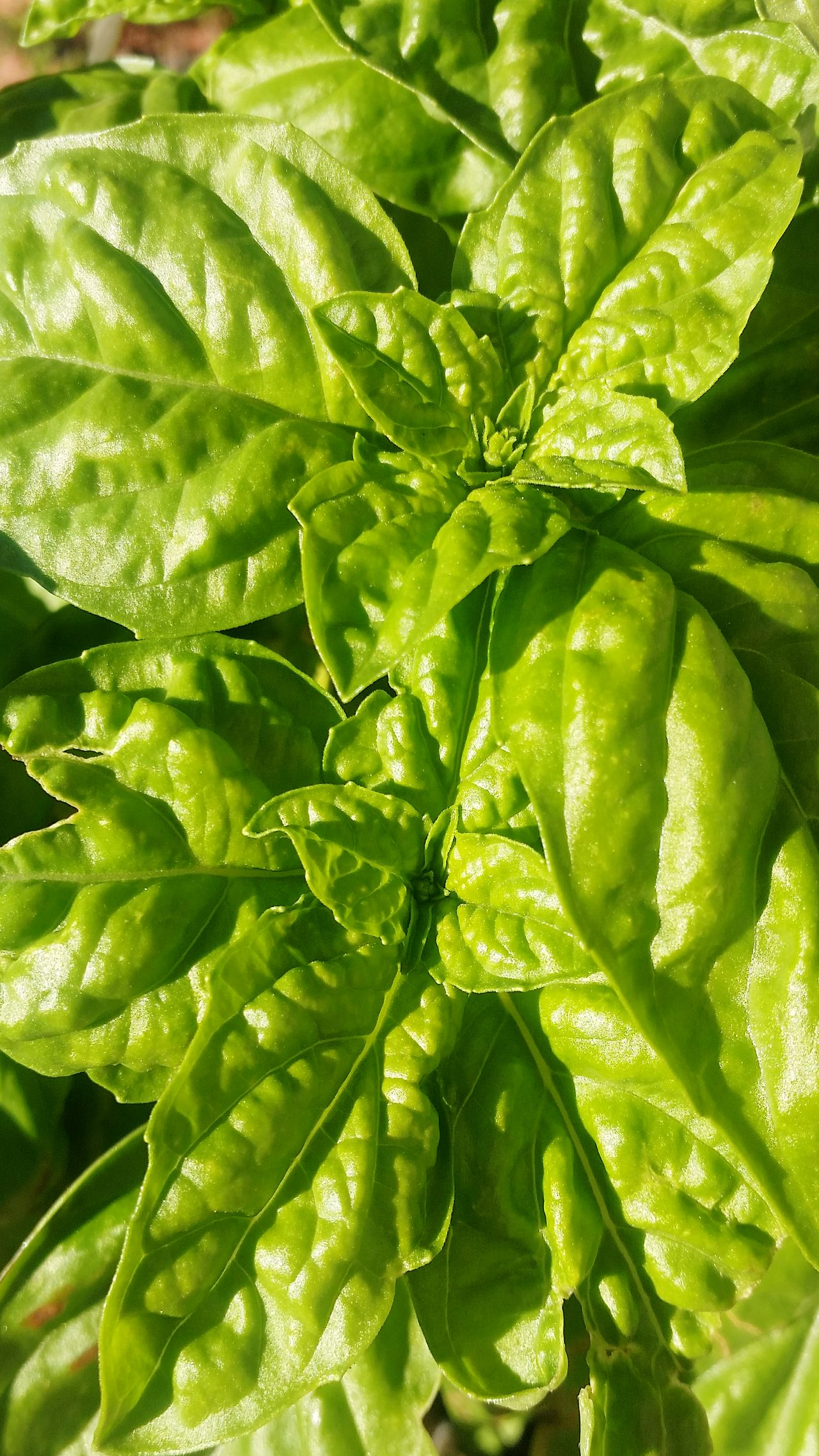 Basilico Italy Food  Food Art Napoli Italy Food Photography Basil Plant Cuke Cake Plant Aromi Odori Cook  Cook Plant Cooking At Home Cooking IngredientsBasil Plant Sea Ocean Basil Home Greenhouse Green Color Green Plants Green Cooking Italia Green