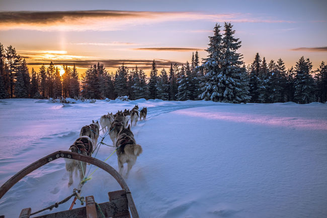 Sleddog Dog Sledge Dog Winter Adventure Cold Winter ❄⛄ Sled Dog Mush Camp Dog Sled Musher Sunset Husky Wintertime Winterwonderland Winter Wonderland Clouds And Sky Dog Sledding Dogs Mush Dog Cold Temperature Snow Eyem Nature Lovers  Snow ❄ Landscape Animal Themes
