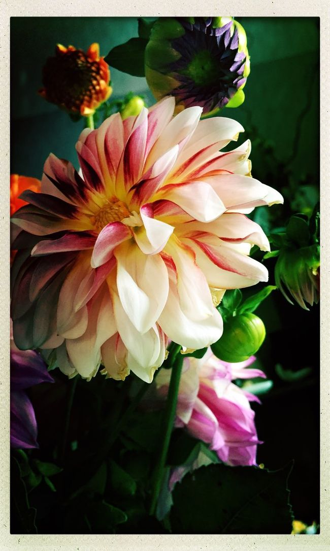 Dahlia 5 Flower Freshness Nature Dahlia