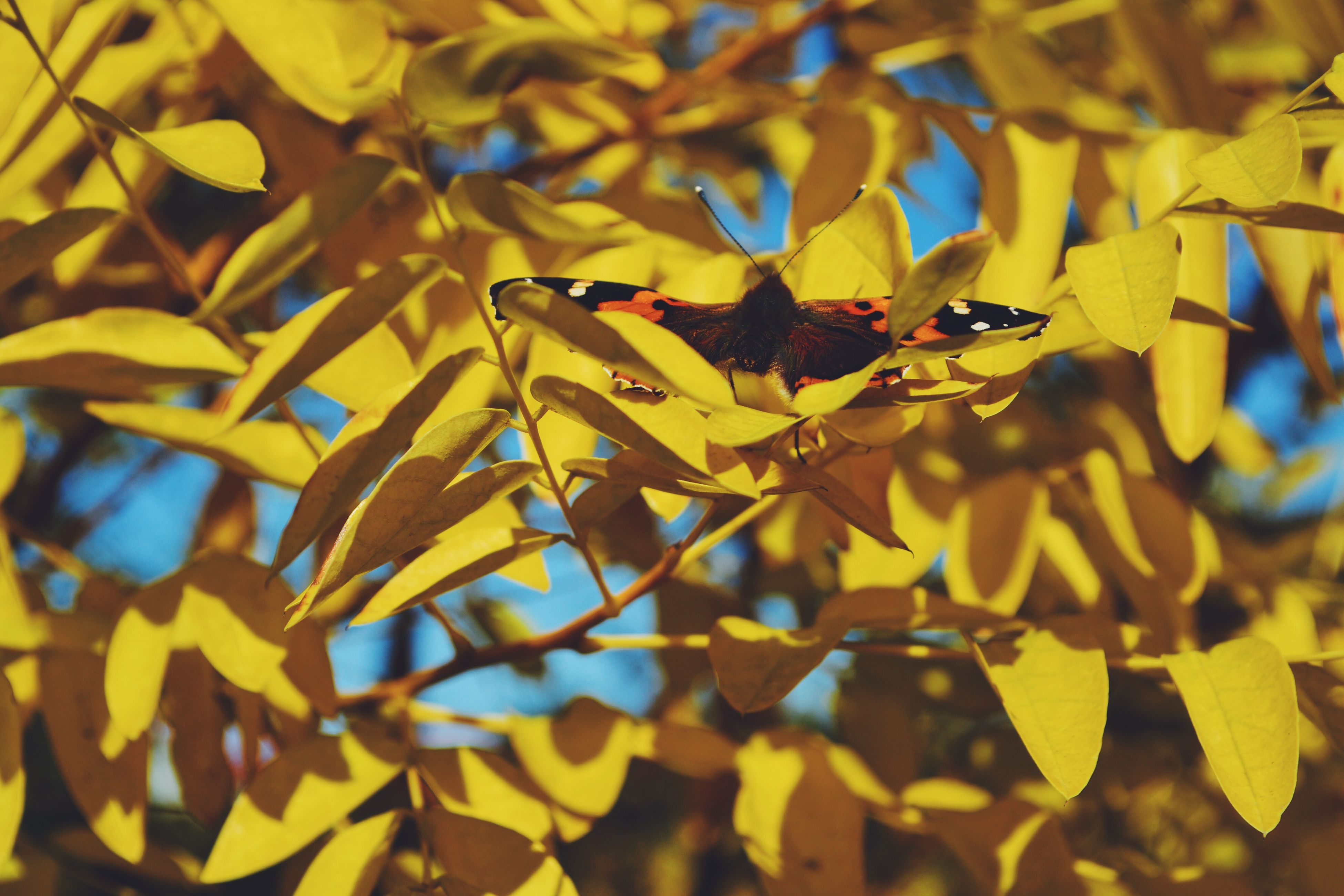leaf, autumn, yellow, change, season, tree, growth, branch, focus on foreground, nature, leaves, close-up, beauty in nature, selective focus, day, outdoors, no people, low angle view, abundance, sunlight