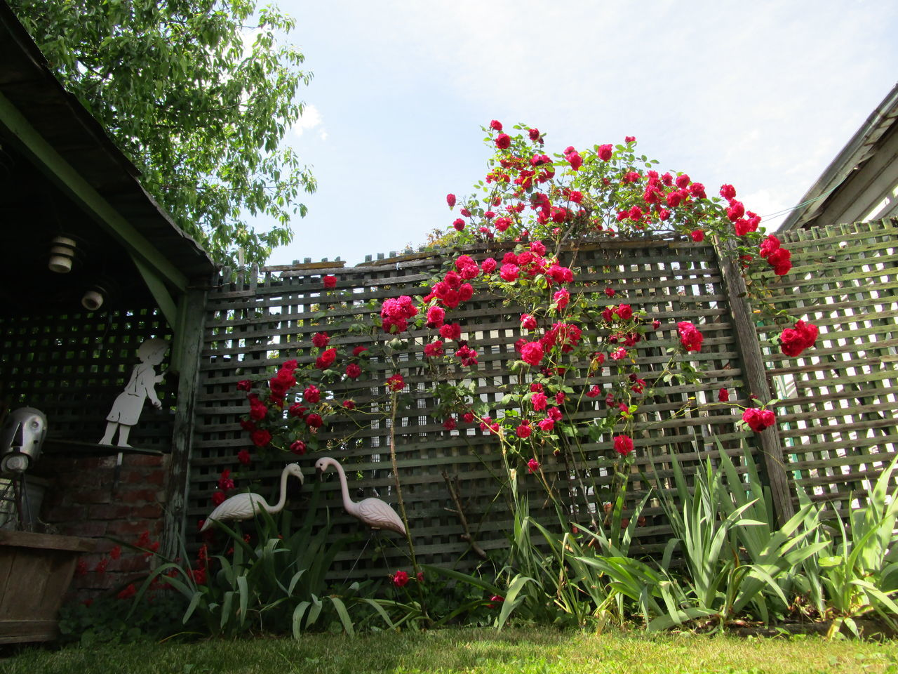 Built Structure Day Lath Fence No People Outdoors Red Roses Yard Flamingos