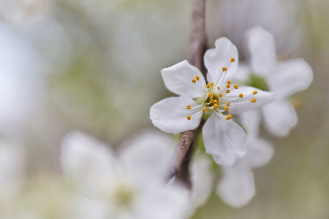 Flower Nature Beauty In Nature Growth White Color Fragility Freshness Petal Close-up No People Blossom Outdoors Day Flower Head Plum Blossom Colorfull