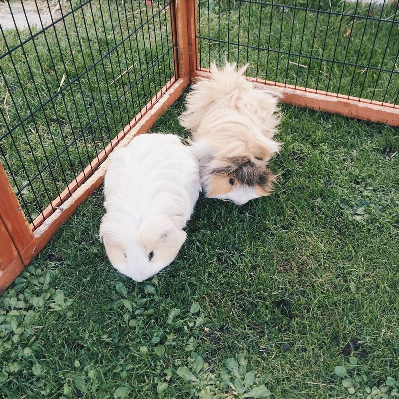 Two Guineapigs eating grass Guineapigs Guinea Pigs Eating Grass Pen Cage Long Haired Fluffy Cuddly Pets Friends