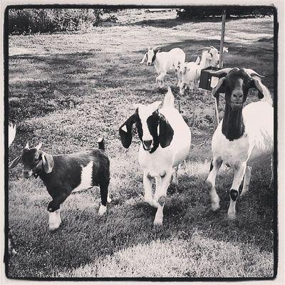 Goats Bnwalma Bnw_power Bnwoftheday Bnwphotooftheday bnwoftheday bnwlovers bnw_stingray bnw_power blacknwhite_perfection black_and_white blacknwhite nocolorneeded noire cafe_noir monoart monochrome goats Kansas Lovewell art found_art
