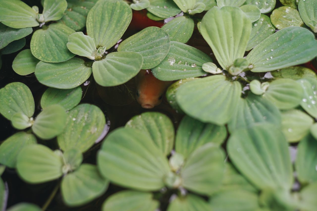 Leaf Green Color Growth Nature Close-up No People Plant Day Outdoors Beauty In Nature Freshness Goldfish