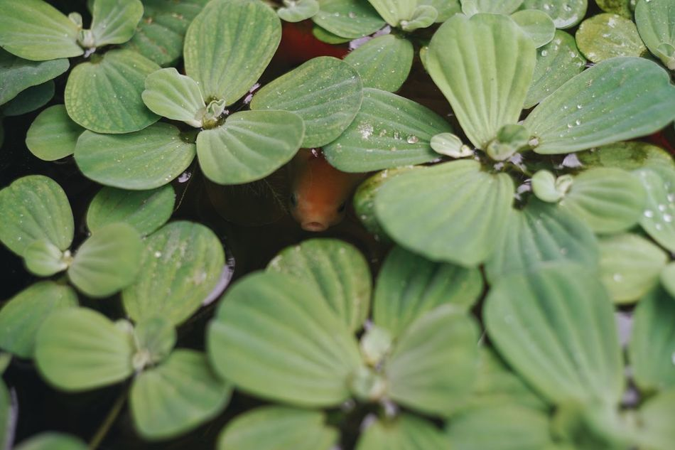 Leaf Green Color Growth Nature Close-up No People Plant Day Outdoors Beauty In Nature Freshness Goldfish The Secret Spaces