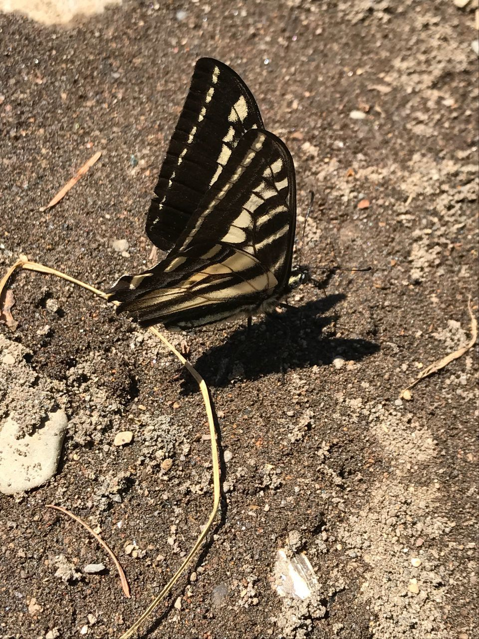 animal themes, animals in the wild, one animal, insect, animal wildlife, butterfly - insect, wildlife, no people, day, outdoors, nature, butterfly, close-up, animal markings, spread wings