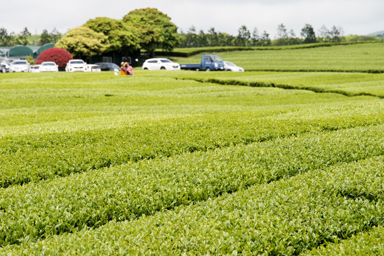 landscape of green tea field at Osulloc in Jeju Island, South Korea Agriculture Beauty In Nature Day Farm Field Grass Green Color Green Tea Field Growth JEJU ISLAND  Landscape Nature No People Osulloc Outdoors Rural Scene Scenics Sky Tranquility Tree