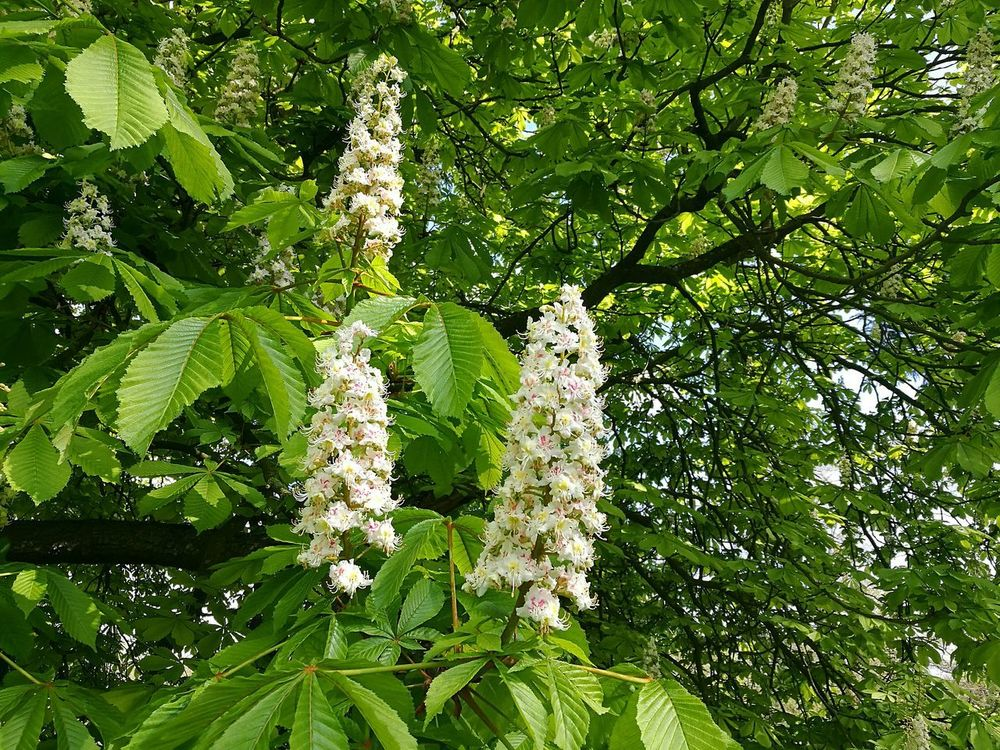 Horsechestnut Horse Chestnut Tree Horse Chestnut Horse Chestnut Blossom Horse Chestnut Flowers Conkertree Blossoms  Springtime Spring Spring Blossoms Branch Branches And Sky Sunny Day Smartphonephotography HuaweiP9 Nature Beauty In Nature Growth Tree Outdoors Green Color Day Low Angle View White Blossoms White And Green