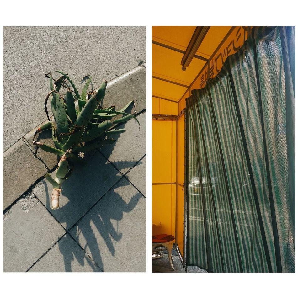 my friend gave me a well grown Aloe Vera Simplicity Smartphonephotography IPhoneography Japan Urbanphotography Streetphotography Minimalism Minimal Minimalist Minimalobsession Oftheafternoon Fotoguerrilla Fotografiamagazine Noicemag Showcase April