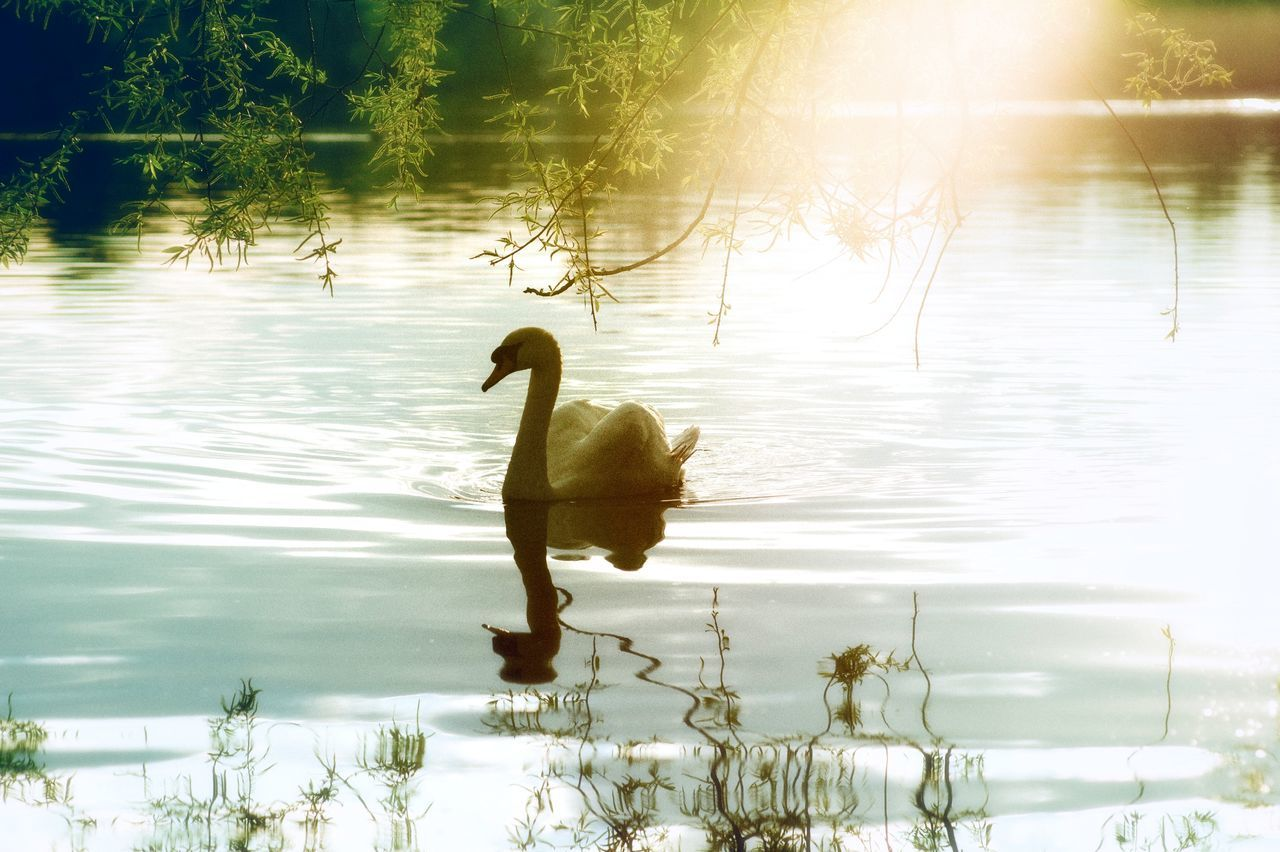 lake, animal themes, nature, reflection, water, animals in the wild, one animal, bird, swan, beauty in nature, no people, day, swimming, water bird, tranquility, outdoors, tranquil scene, plant, tree, sunlight, spread wings