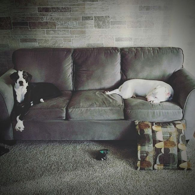 Indoors  Living Room Home Interior No People Vertical Day Dogs Whitedog Blackandwhitedog Lazysundays