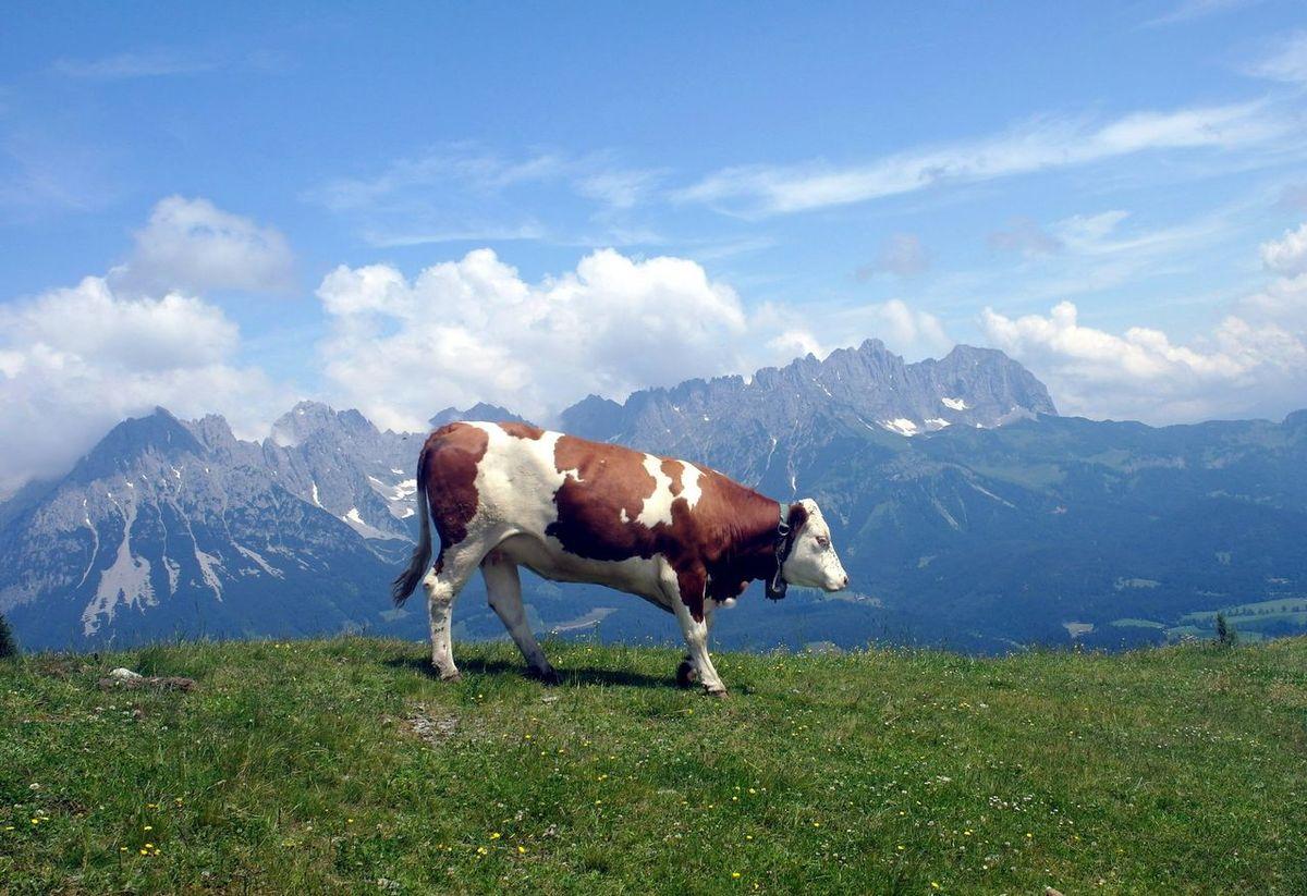 Austria ❤ Austria Mountains Austria Mountains And Sky Mountain View Mountains Mountainview Cow Scheffau Market Reviewers' Top Picks