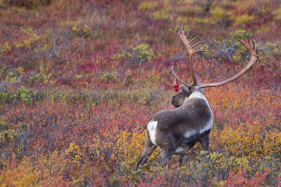 Caribou in fall colour Animal Themes Animal Wildlife Animals In The Wild Antler Beauty In Nature Caribou Day Fall Colors Mammal Nature No People One Animal Outdoors