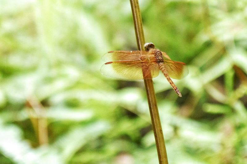 Dragon Fly One Animal Insect Animal Themes Animals In The Wild Nature Close-up Animal Wildlife No People Beauty In Nature Outdoors Day Perching EyeEmNewHere Kambodia Kambodscha