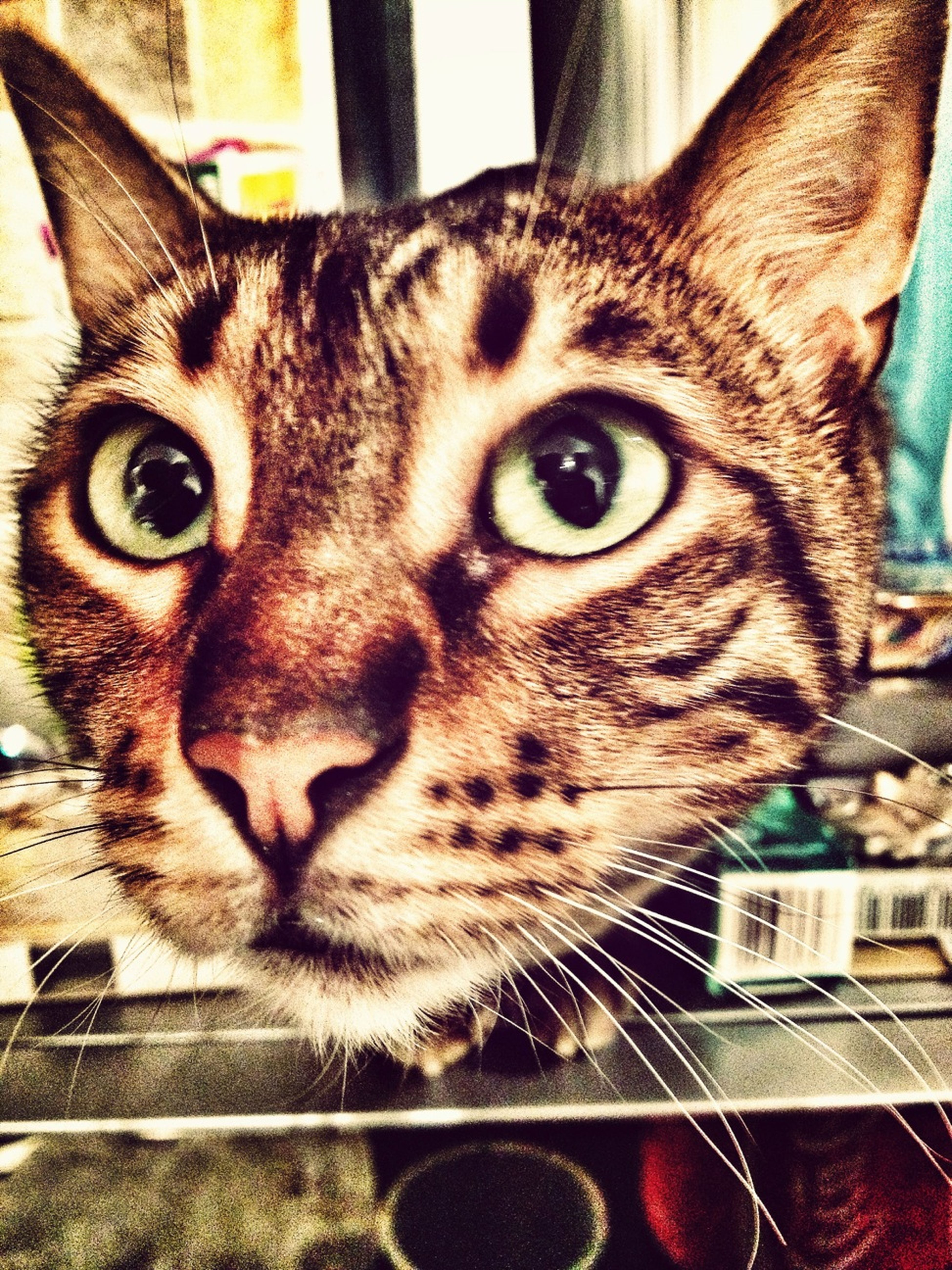 Mia the Bengal Cat with the floating head effect