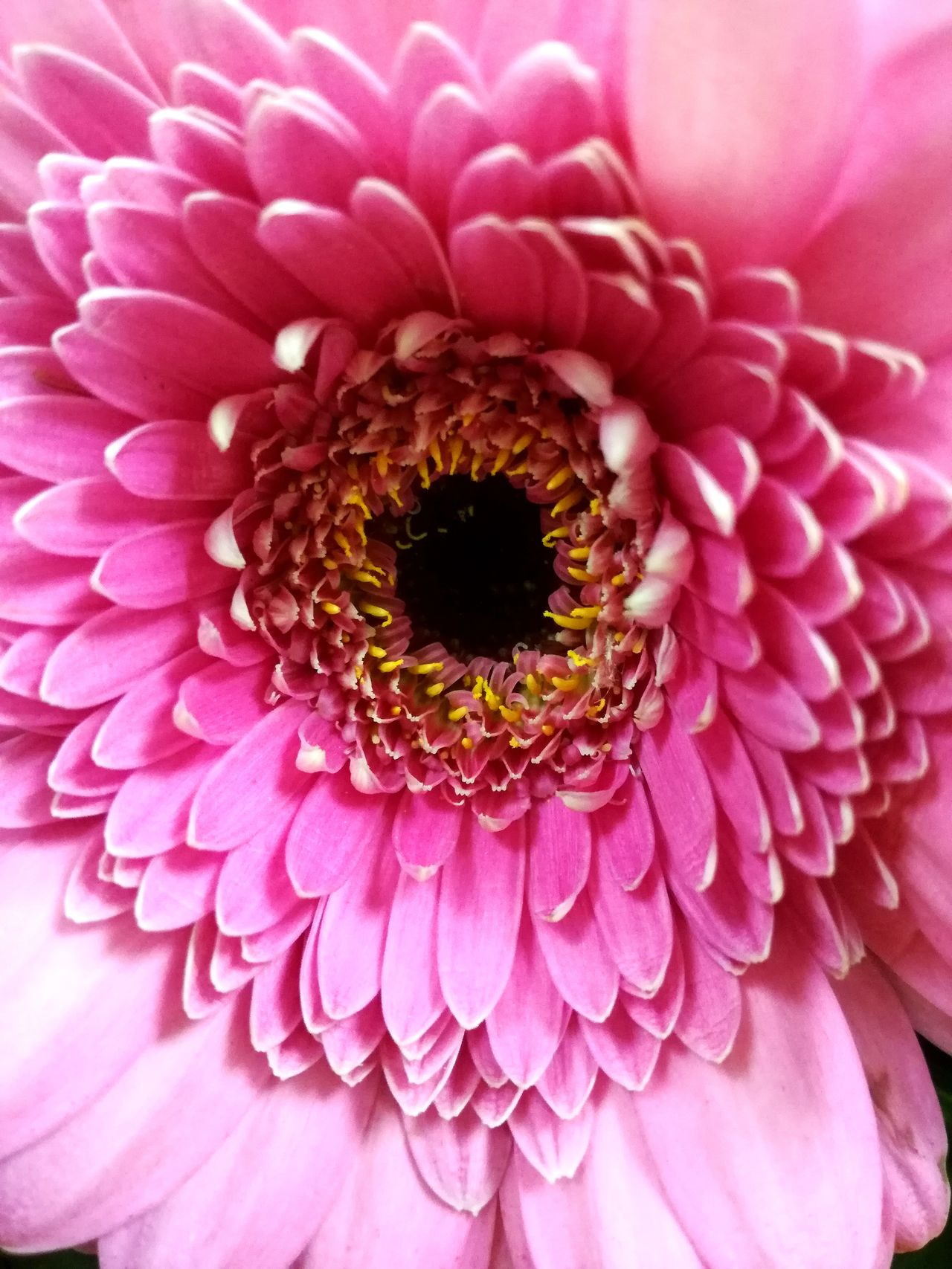 Flower Petal Fragility Beauty In Nature Flower Head Nature Freshness Springtime Blooming Day Gerbera Flower Gerberdaisy Growth No People Pink Color PlantPurple Gerberas Blossom Gerbera