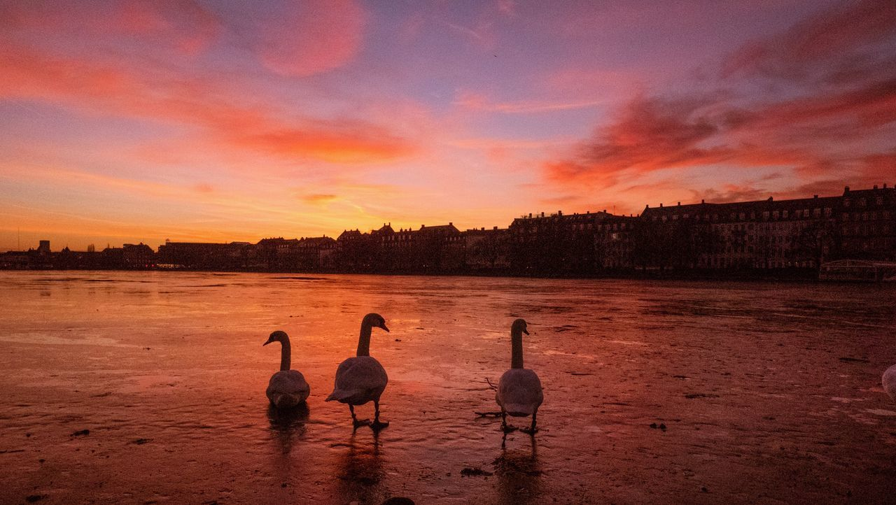 animals in the wild, bird, sunset, animal themes, nature, water, reflection, animal wildlife, cloud - sky, beauty in nature, no people, sky, lake, scenics, tranquility, outdoors, swan, flamingo, day