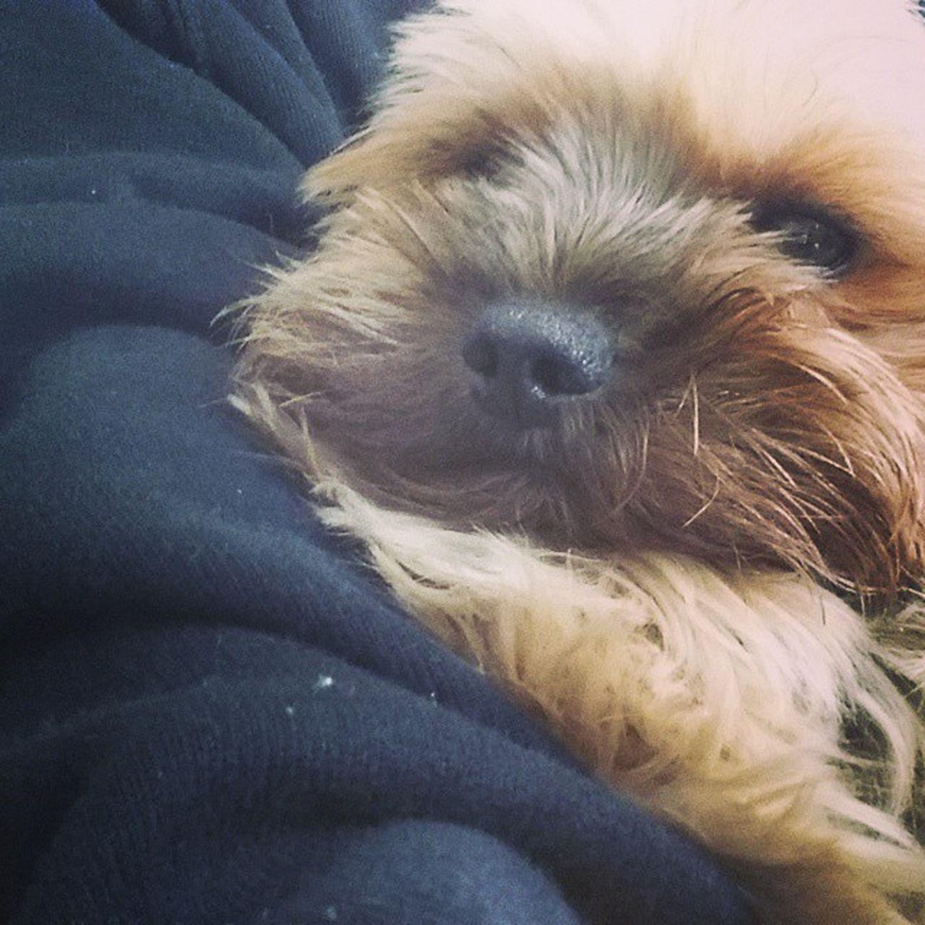 Kuscheln  ist die beste Medizin wenns dem kleinen mal nicht gut geht Hundemama Yorkie Dogsofinstagram