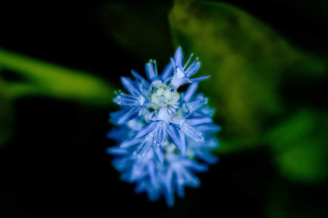 Beauty In Nature Blue Eye4photography  EyeEm Macro EyeEm Nature Lover Florida Flower Flower Head Focus On Foreground Growth Macro Photography Macro_collection No People Outdoors Pentax Wildflowers