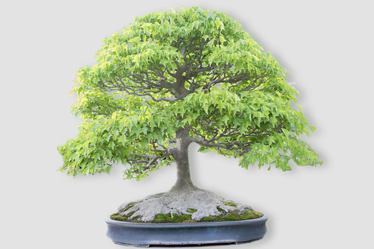 Bonzai model Acer Bonsai Bonsai Tree Bonzai Bonzai Tree Bonzai Trees Bonzaiiiii Bonzaitree Garden Photography Gardening Japanese  Japanese Garden Mappletree Omiya Plant Plants Small Tree Tree Tree Trunk Tree_collection  Trees дерево 盆景 盆栽