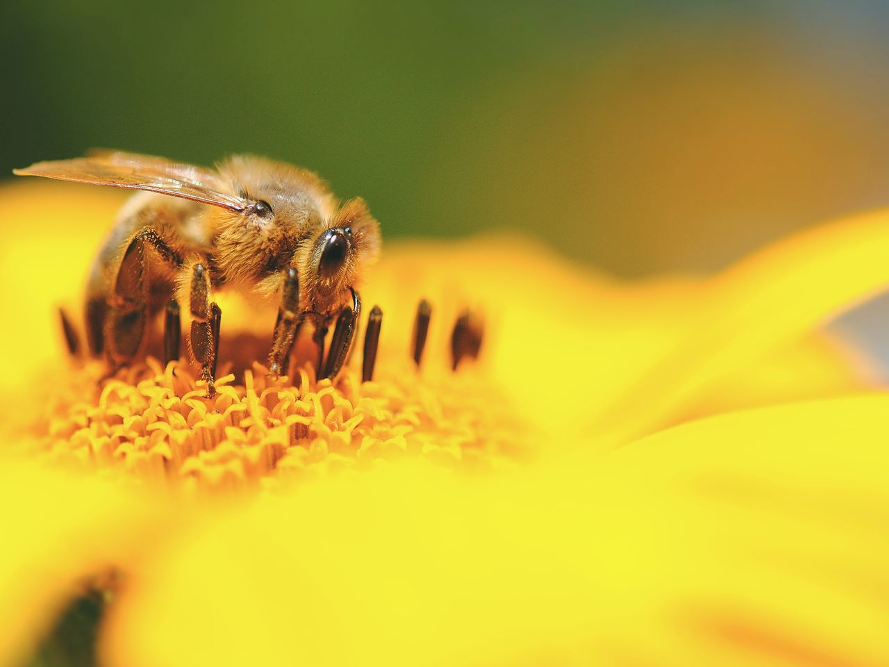 Bee Apis Insect Insect Photography Macro Insects Makro Makro_collection Yellow Flower Catch The Moment