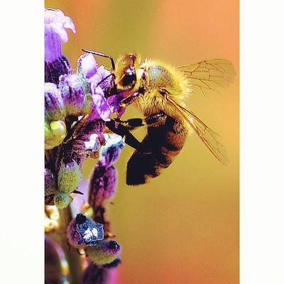 Bees Wasp Bugslife Nature Insect Exposure Outdoor Flowerstalking Capture Fotographia NatureIsBeautiful Tv_depthoffield Tv_dof Nature Flowers Summer Nature Details Macro Macroworld Macroworld_tr Macro_freaks Macrophotography Picture Beeporn