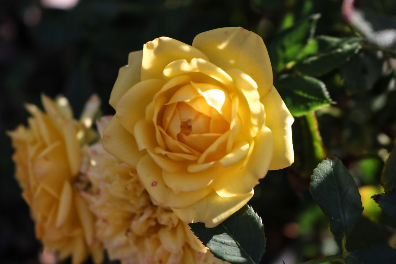 Flower Rose - Flower Nature Plant Close-up Flower Head Beauty In Nature Fragility No People Outdoors Freshness Day Yellow Rose Yellow Flowers Yellow