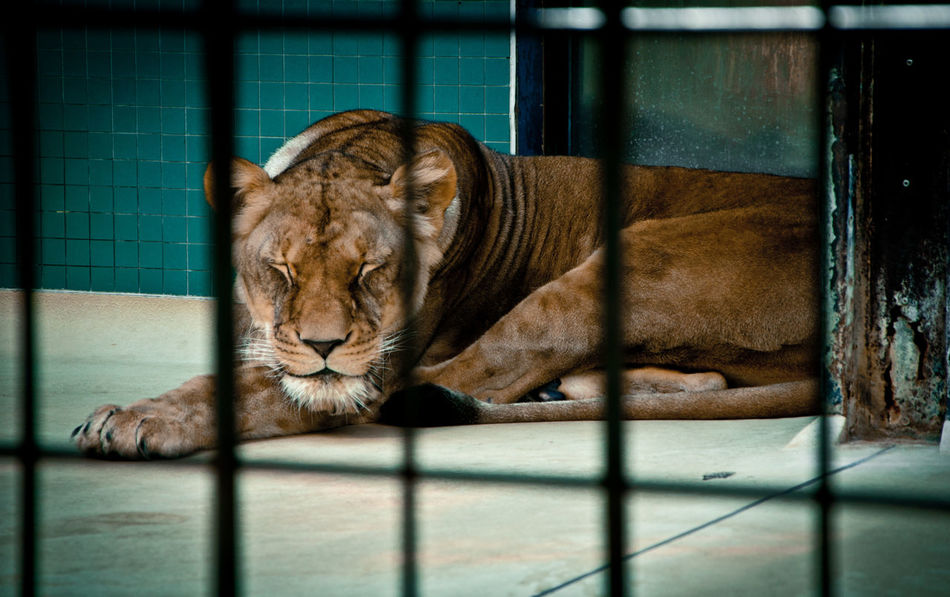 Beautiful stock photos of lion, Animal Themes, Cage, Captivity, Day