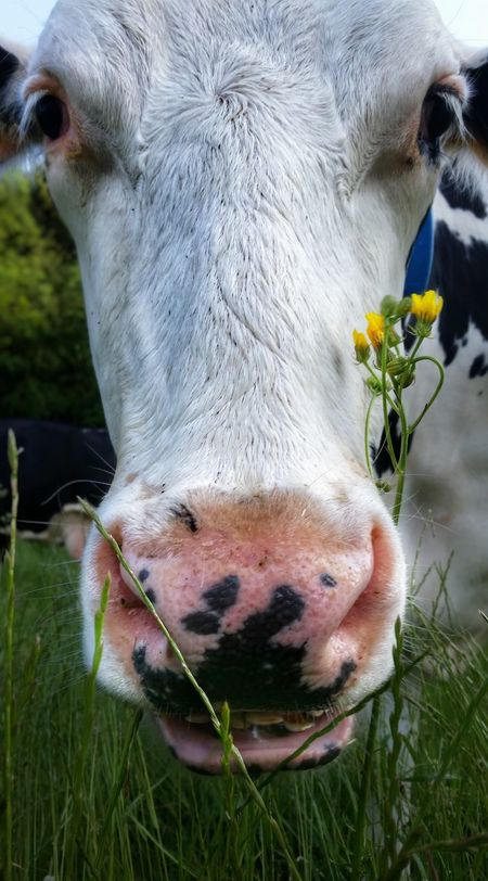 Cowportrait Animal Themes Nature No People Close-up Outdoors Cow Animal Head  One Animal Mammal Domestic Animals Livestock Grass Day Water