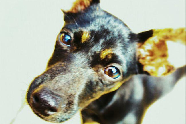 Remington Puppy Dauchshund Chiuhuahua Mix Rescuedog Black Brown Macro Photography Mut Pets One Animal Domestic Animals Animal Themes Dog Portrait Looking At Camera Close-up No People Mammal Day