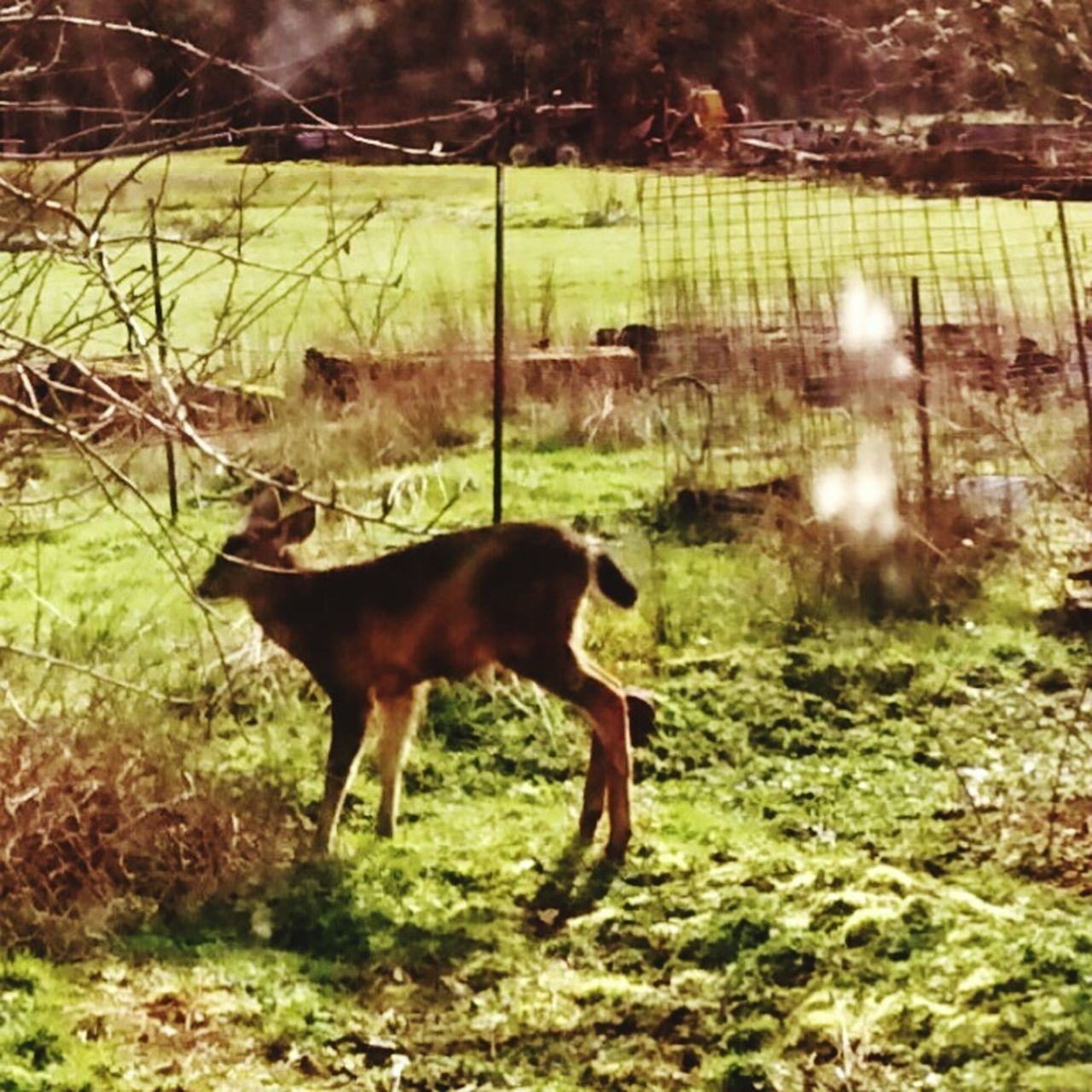 animal themes, one animal, no people, mammal, field, domestic animals, day, nature, grass, full length, outdoors