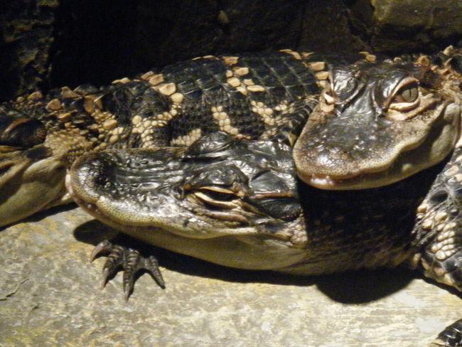 Gators Babies Alligators Teeth Eyes Siblings