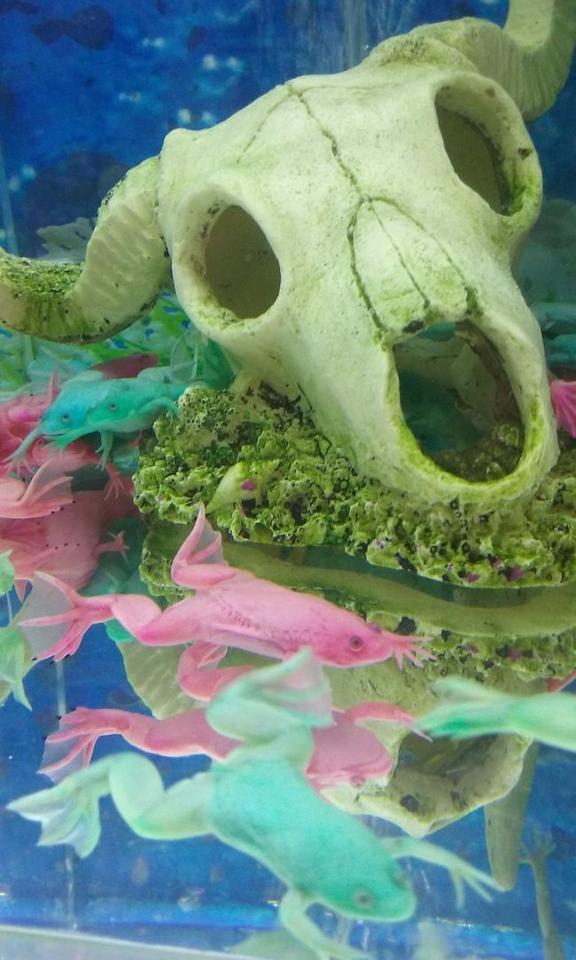 frogs in aquarium Underwater No People Close-up Day Water Frogs Aquarium Aquarium Life Animal Amphibian Colorful Sculpture Skull Animal Themes Indoors  Skull Of An Animal