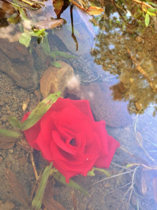 Red Rose Reflection Puddle IPhone