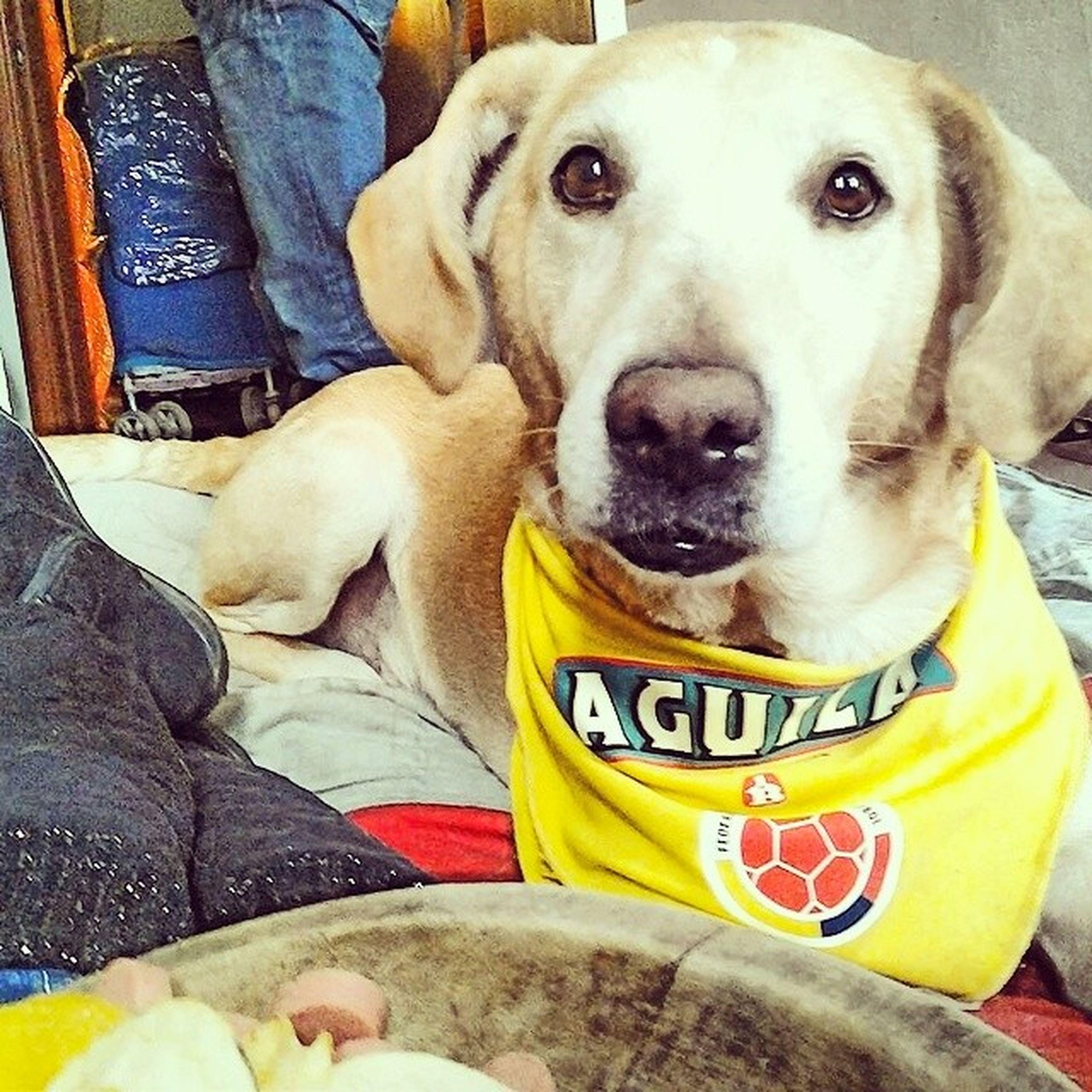 Mydog Mimascot Colombia Celebrando ILove Aguila Live Yellow Likegram Mi hijo que siempre esta apoyando 8años de vida
