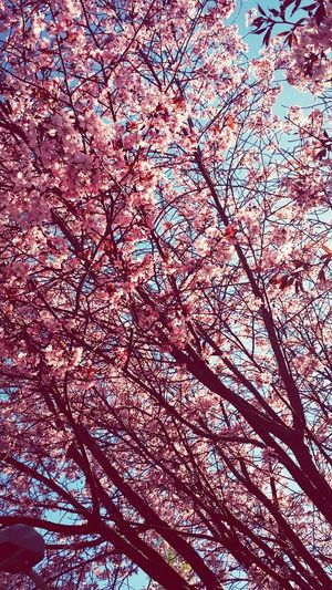 Motala Sweden Spring Cherry Blossoms