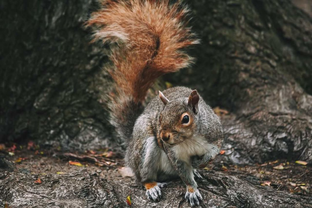squirrel, animal themes, mammal, animals in the wild, one animal, rodent, no people, animal wildlife, nature, food and drink, eating, outdoors, day, food, close-up