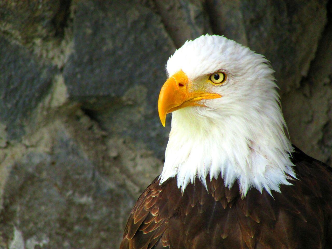 Beautiful stock photos of bald eagle, Animal Themes, Animals In The Wild, Bald Eagle, Beak
