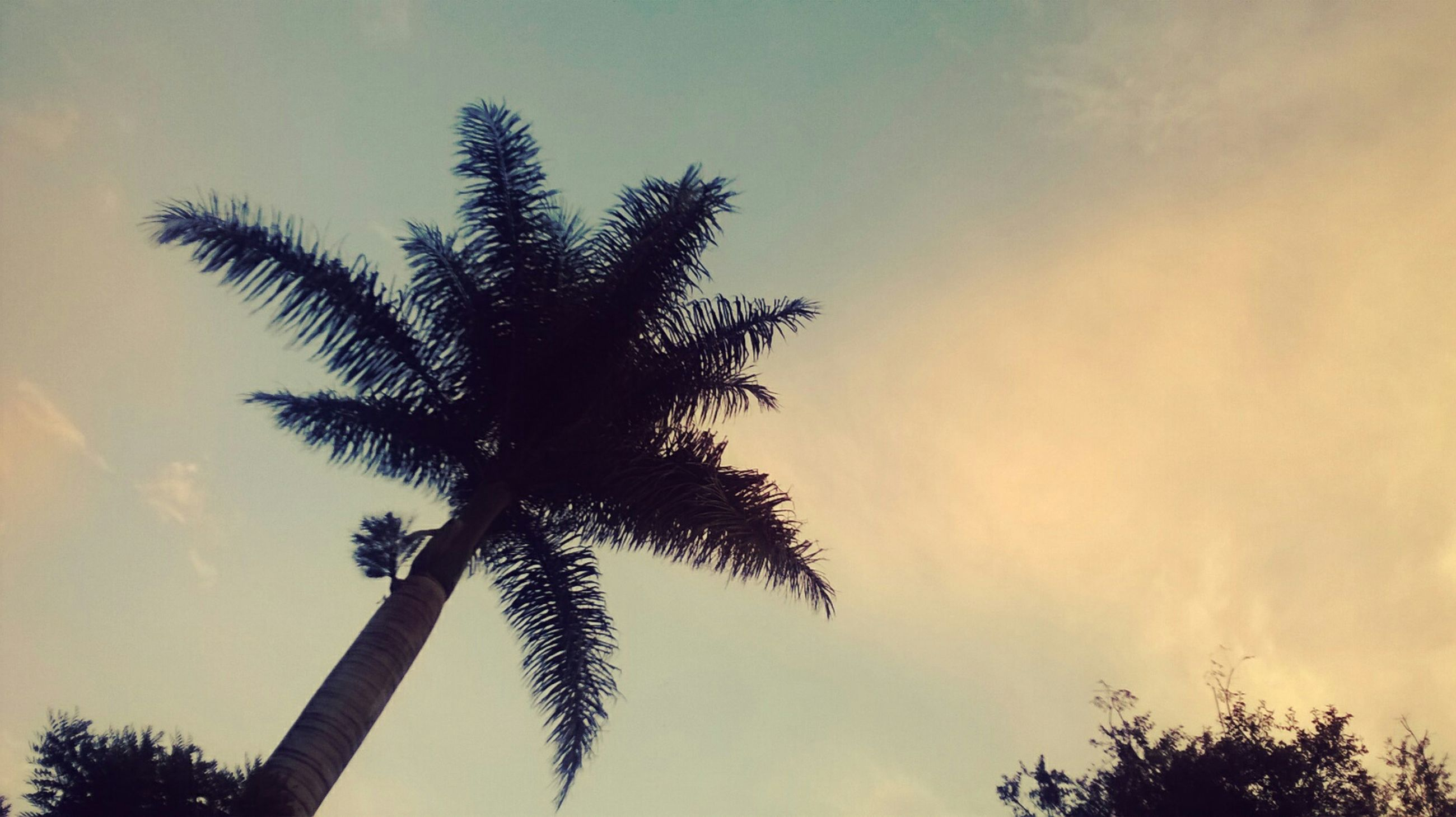 low angle view, palm tree, sky, tree, silhouette, tranquility, beauty in nature, nature, growth, cloud - sky, tree trunk, scenics, sunset, tranquil scene, cloud, cloudy, branch, tall - high, outdoors, no people