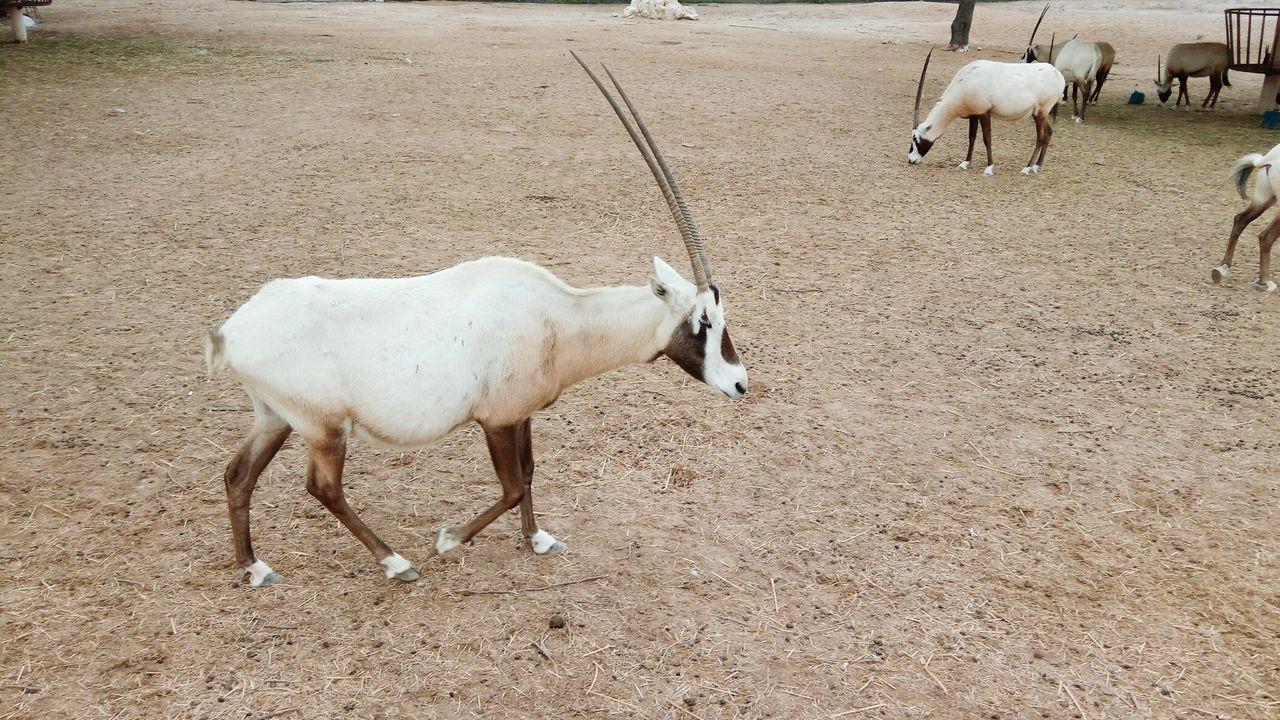 Animal Gazelle Maha Bahrain Nature Beauty In Nature