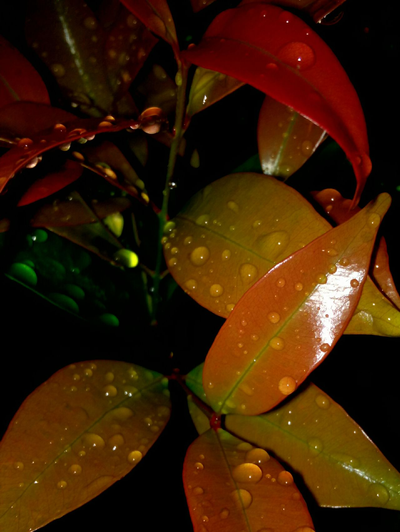 Rain Droop On Leaf Leaf Drop Water Close-up Wet Season  Growth Plant Green Color Droplet Nature Day Outdoors Dew Beauty In Nature Leaves Freshness Fragility Focus On Foreground Tranquility Nature In The Night Huawei Shots Huawei Y5