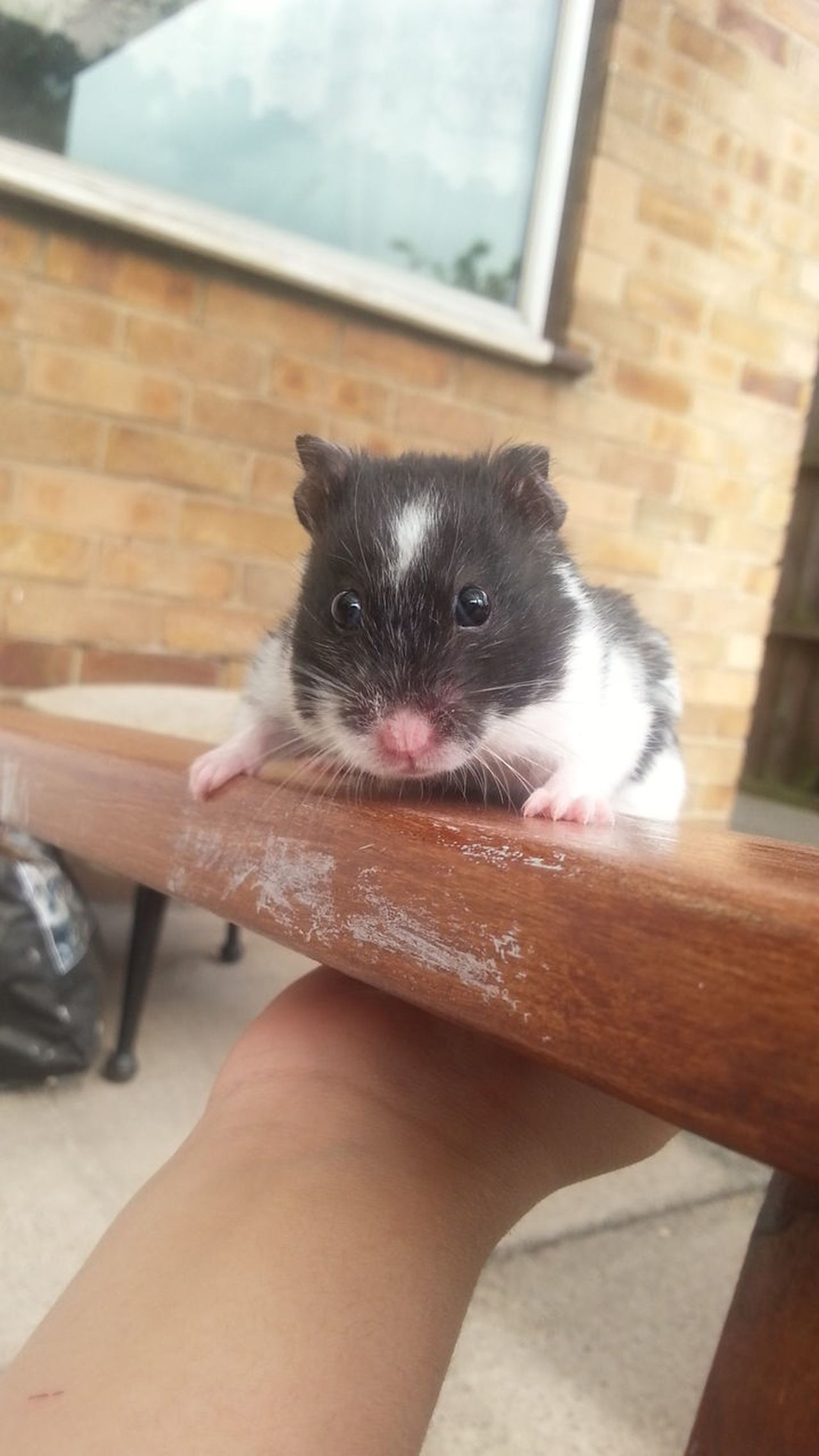 Animal Themes Human Body Part One Person Animal Pets Close-up Day Human Hand Relaxing Lovelyday💛 Cute Pets Sunnydays Focus On Details Beautiful Nottingham Happy :) Looking Down EyeEm HappyMood Outdoor Photography Eating Time Hamster Baby Hamster Love No People Animal Wildlife