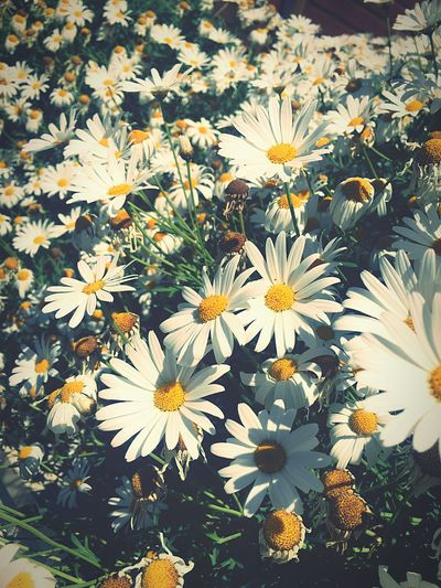 Flower Yellow Nature Beauty In Nature Petal Plant Sun White Fragility Flower Head Freshness Growth Blooming Outdoors First Eyeem Photo