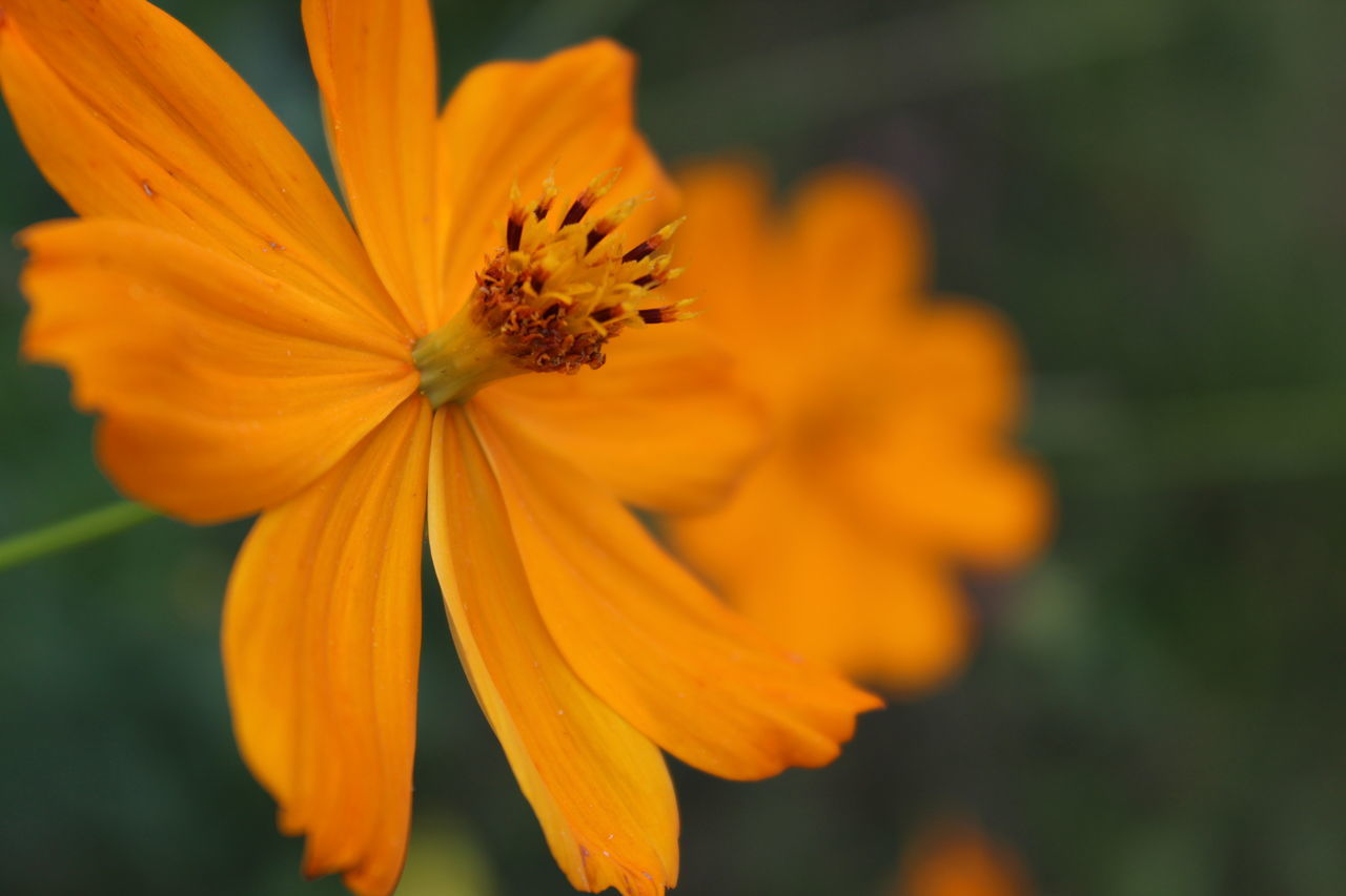 flower, petal, nature, beauty in nature, fragility, flower head, growth, orange color, freshness, plant, pollen, blooming, close-up, outdoors, yellow, no people, focus on foreground, day