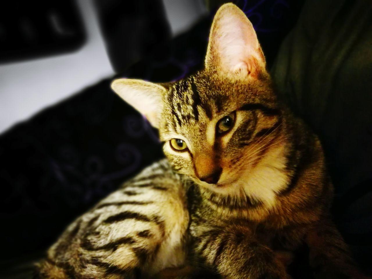 Simba European Shorthair Kitten Leica HuaweiP9