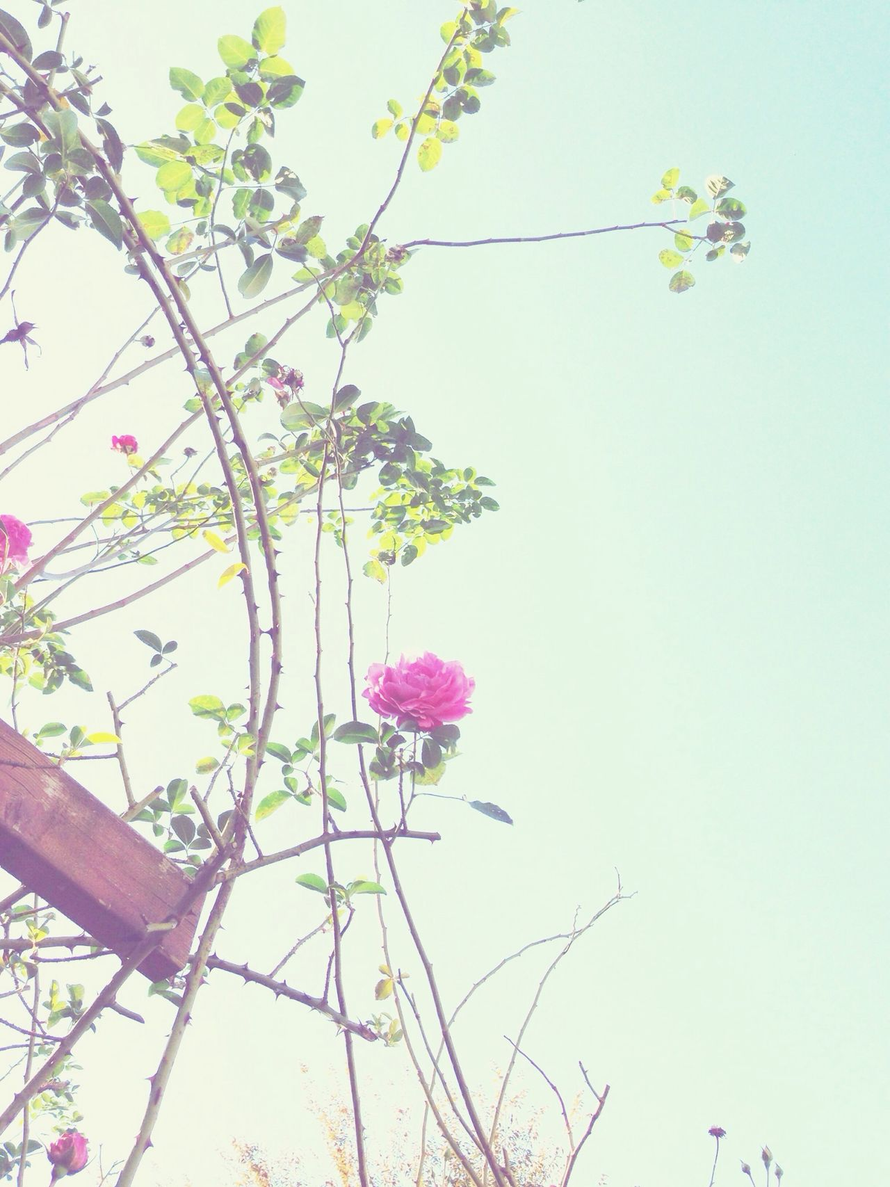 Beautiful stock photos of roses, Backgrounds, Beauty In Nature, Blossom, Branch