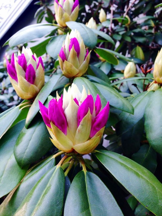 Rhododendron Nature Budding Tree Summer Color