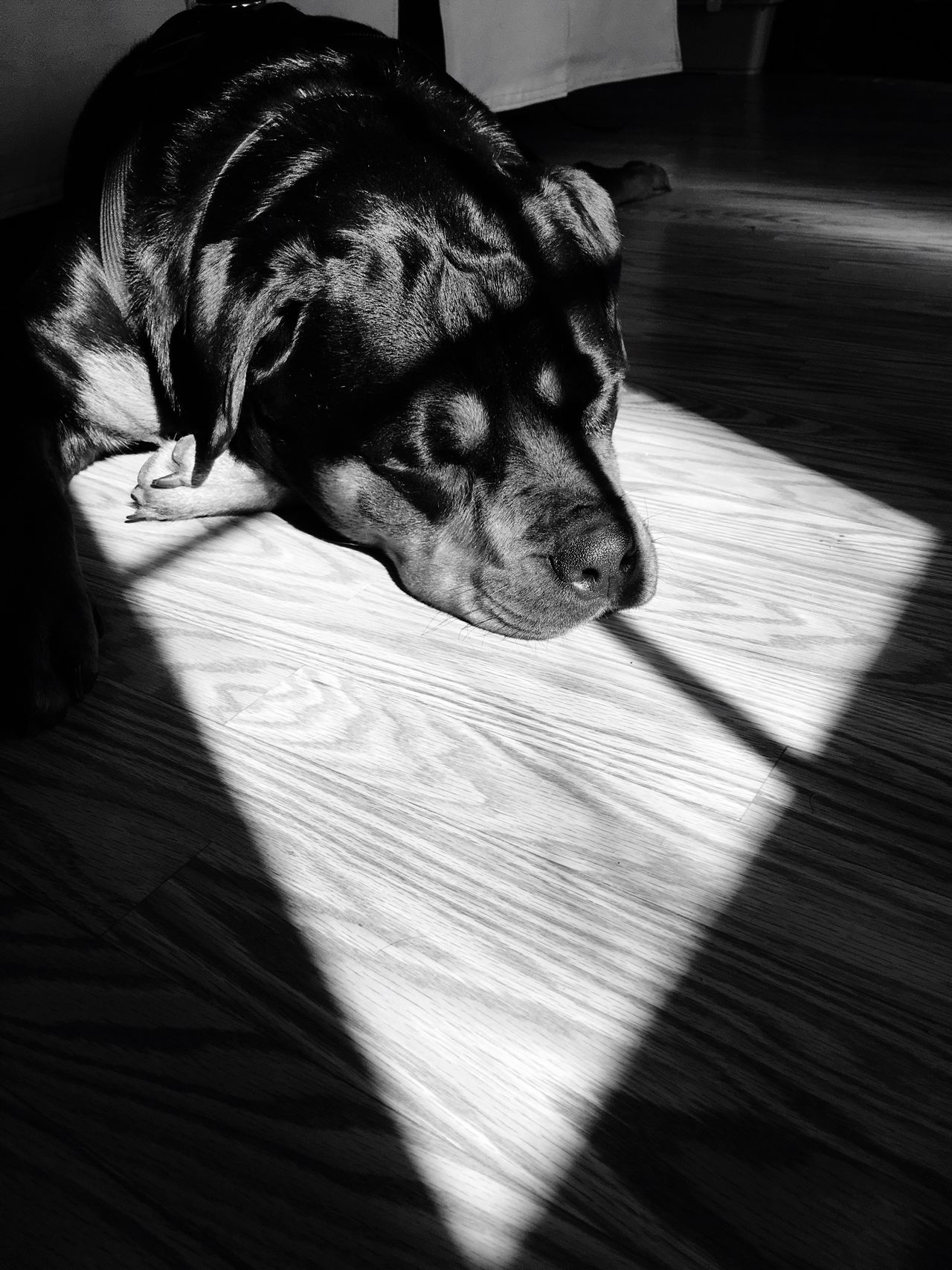 Pets Dog Animal Themes One Animal Domestic Animals Mammal Indoors  Close-up No People Day Monochrome Light And Shadow Black And White Rottweiler Texture Light